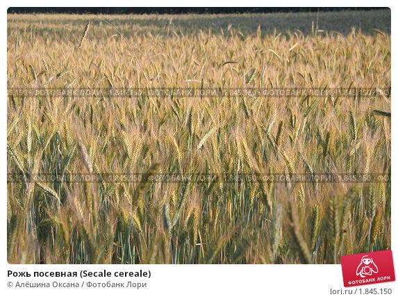 Купить «Рожь посевная (Secale cereale)», фото № 1845150, снято 5 июля 2010 г. (c) Алёшина Оксана / Фотобанк Лори