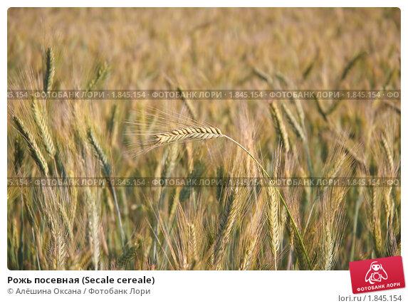 Купить «Рожь посевная (Secale cereale)», фото № 1845154, снято 5 июля 2010 г. (c) Алёшина Оксана / Фотобанк Лори