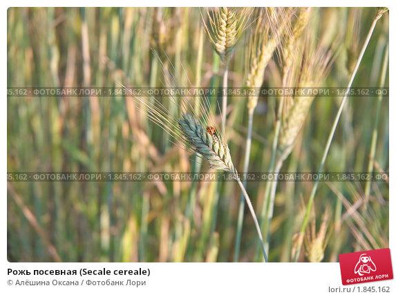 Купить «Рожь посевная (Secale cereale)», фото № 1845162, снято 5 июля 2010 г. (c) Алёшина Оксана / Фотобанк Лори