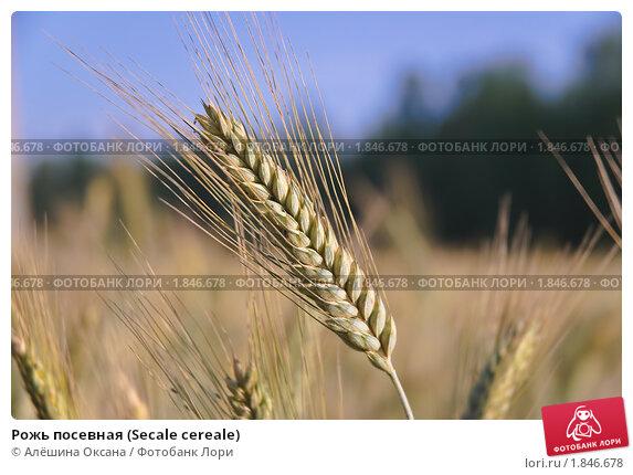Купить «Рожь посевная (Secale cereale)», фото № 1846678, снято 5 июля 2010 г. (c) Алёшина Оксана / Фотобанк Лори