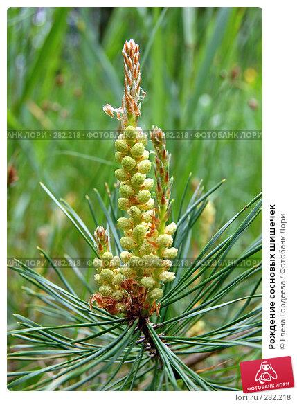 Рождение сосновых шишечек, фото № 282218, снято 10 мая 2008 г. (c) Елена Гордеева / Фотобанк Лори