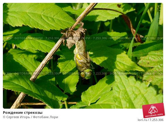 Рождение стрекозы. Стоковое фото, фотограф Сергеев Игорь / Фотобанк Лори