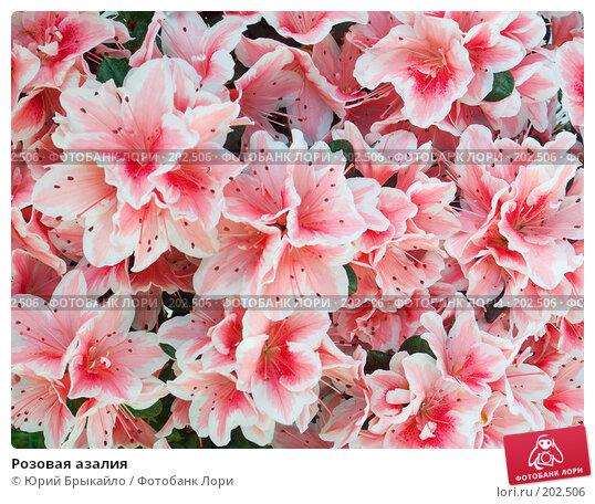 Купить «Розовая азалия», фото № 202506, снято 23 марта 2018 г. (c) Юрий Брыкайло / Фотобанк Лори