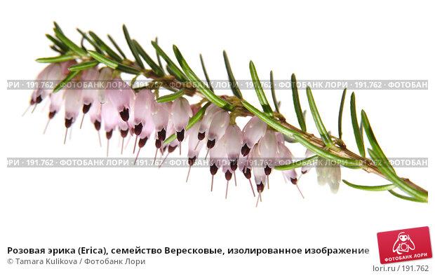 Розовая эрика (Ericа), семейство Вересковые, изолированное изображение, фото № 191762, снято 1 февраля 2008 г. (c) Tamara Kulikova / Фотобанк Лори