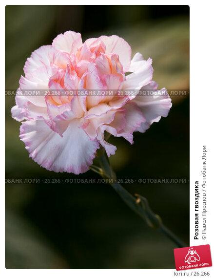 Розовая гвоздика, фото № 26266, снято 8 марта 2007 г. (c) Павел Преснов / Фотобанк Лори