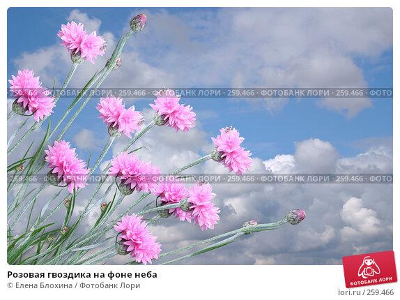 Розовая гвоздика на фоне неба, фото № 259466, снято 24 апреля 2007 г. (c) Елена Блохина / Фотобанк Лори
