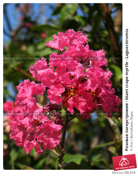 Розовая лагерстромия - Giant crape myrtle - Laguerstromia, фото № 80614, снято 29 августа 2007 г. (c) Fro / Фотобанк Лори
