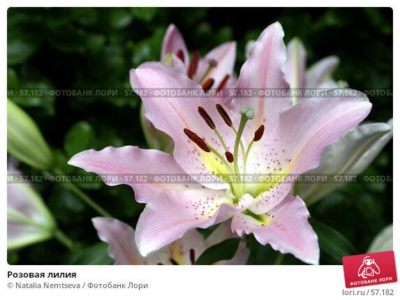 Розовая лилия, эксклюзивное фото № 57182, снято 26 июня 2007 г. (c) Natalia Nemtseva / Фотобанк Лори