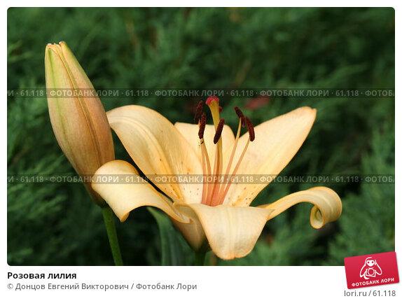 Розовая лилия, фото № 61118, снято 10 июля 2007 г. (c) Донцов Евгений Викторович / Фотобанк Лори