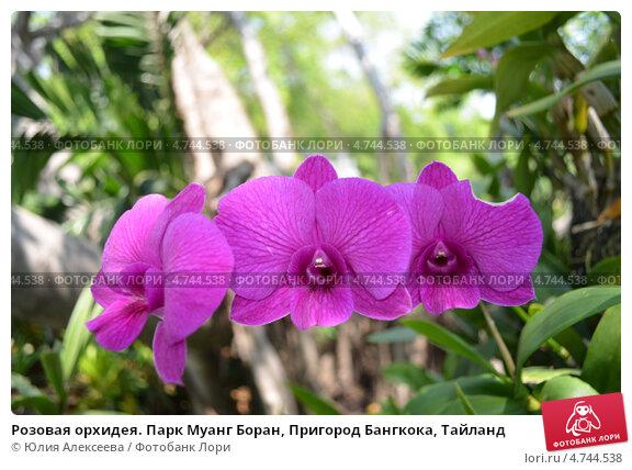 Розовая орхидея. Парк Муанг Боран, Пригород Бангкока, Тайланд. Стоковое фото, фотограф Юлия Алексеева / Фотобанк Лори