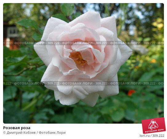 Розовая роза, фото № 309222, снято 24 сентября 2006 г. (c) Дмитрий Кобзев / Фотобанк Лори