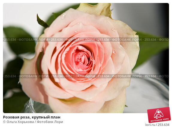 Розовая роза, крупный план, фото № 253634, снято 10 марта 2008 г. (c) Ольга Хорькова / Фотобанк Лори