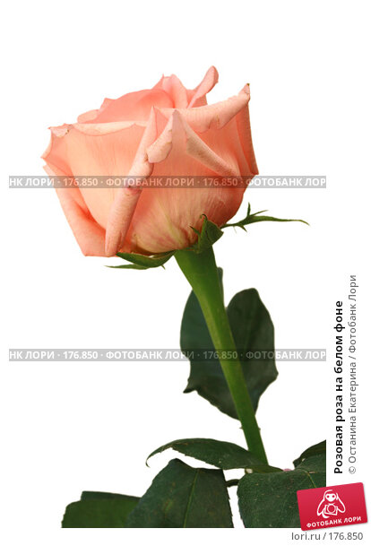 Розовая роза на белом фоне, фото № 176850, снято 13 июля 2007 г. (c) Останина Екатерина / Фотобанк Лори