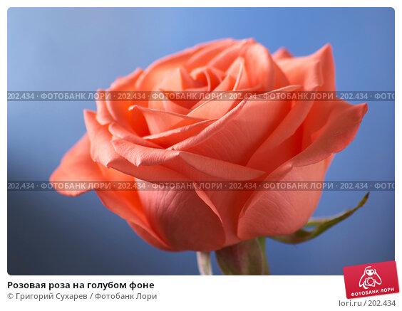 Розовая роза на голубом фоне, фото № 202434, снято 8 октября 2006 г. (c) Григорий Сухарев / Фотобанк Лори