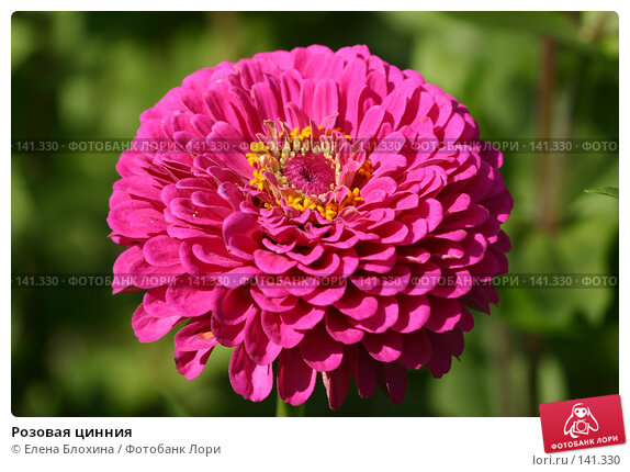 Купить «Розовая цинния», фото № 141330, снято 26 августа 2007 г. (c) Елена Блохина / Фотобанк Лори