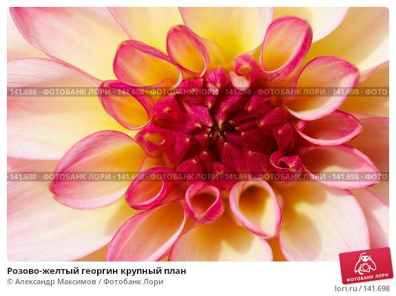 Розово-желтый георгин крупный план, фото № 141698, снято 23 сентября 2006 г. (c) Александр Максимов / Фотобанк Лори