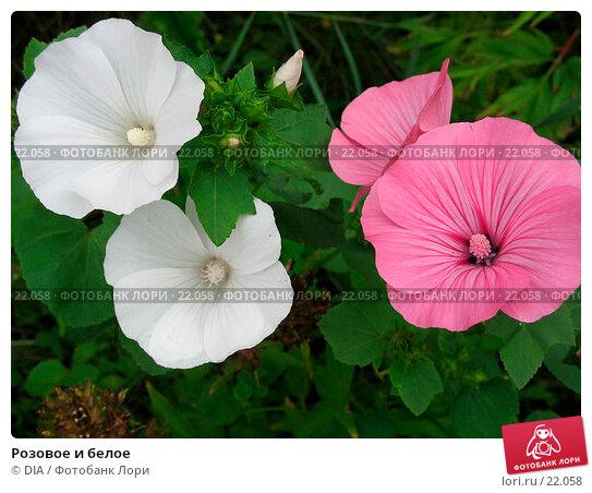 Розовое и белое, фото № 22058, снято 24 января 2017 г. (c) DIA / Фотобанк Лори