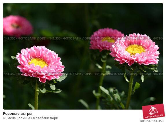Купить «Розовые астры», фото № 141350, снято 26 августа 2007 г. (c) Елена Блохина / Фотобанк Лори