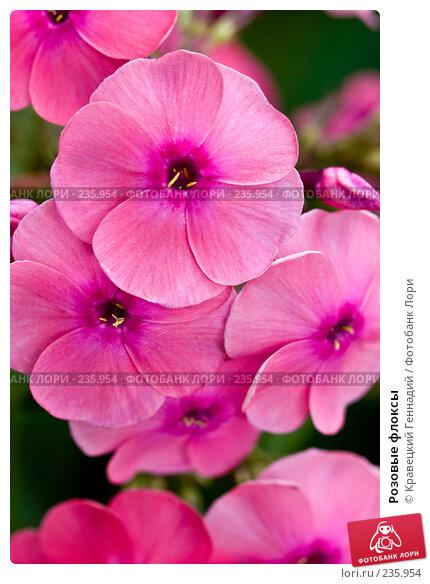 Купить «Розовые флоксы», фото № 235954, снято 26 апреля 2018 г. (c) Кравецкий Геннадий / Фотобанк Лори