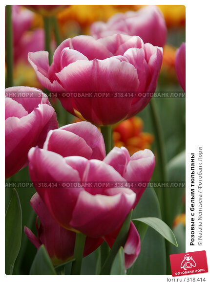 Розовые с белым тюльпаны, эксклюзивное фото № 318414, снято 8 апреля 2008 г. (c) Natalia Nemtseva / Фотобанк Лори