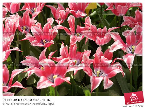 Розовые с белым тюльпаны, эксклюзивное фото № 318506, снято 8 апреля 2008 г. (c) Natalia Nemtseva / Фотобанк Лори