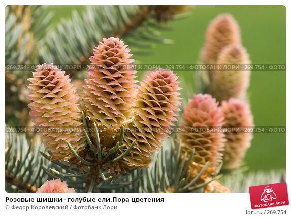 Купить «Розовые шишки - голубые ели.Пора цветения», фото № 269754, снято 1 мая 2008 г. (c) Федор Королевский / Фотобанк Лори