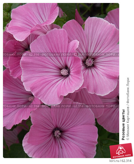 Розовые цветы, эксклюзивное фото № 62314, снято 13 августа 2005 г. (c) Михаил Карташов / Фотобанк Лори