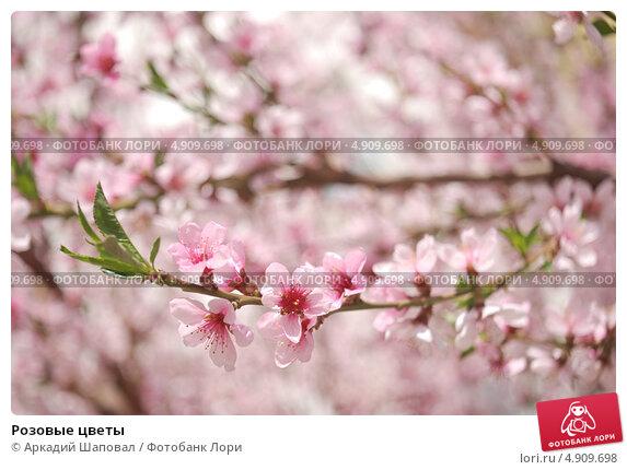 Розовые цветы. Стоковое фото, фотограф Аркадий Шаповал / Фотобанк Лори