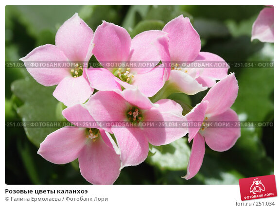 Розовые цветы каланхоэ, фото № 251034, снято 12 апреля 2008 г. (c) Галина Ермолаева / Фотобанк Лори