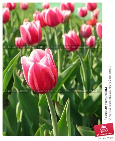 Купить «Розовые тюльпаны», эксклюзивное фото № 222, снято 7 мая 2004 г. (c) Ирина Терентьева / Фотобанк Лори