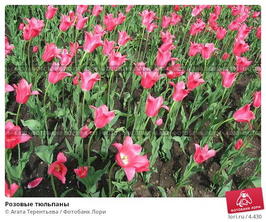 Розовые тюльпаны, фото № 4430, снято 21 мая 2006 г. (c) Агата Терентьева / Фотобанк Лори