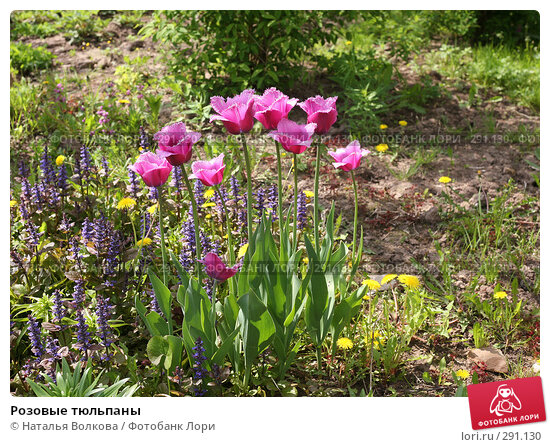 Розовые тюльпаны, фото № 291130, снято 18 мая 2008 г. (c) Наталья Волкова / Фотобанк Лори
