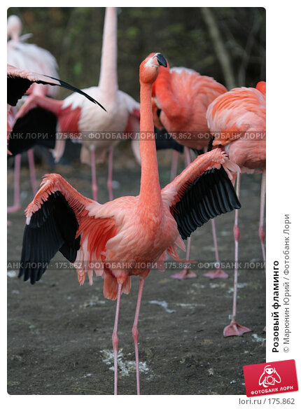 Розовый фламинго, фото № 175862, снято 10 декабря 2007 г. (c) Марюнин Юрий / Фотобанк Лори
