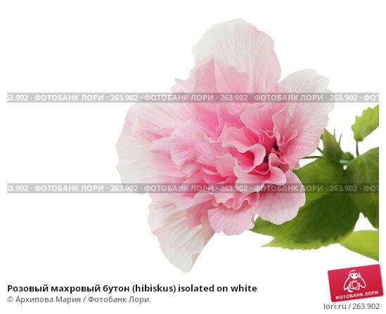 Розовый махровый бутон (hibiskus) isolated on white, фото № 263902, снято 2 августа 2007 г. (c) Архипова Мария / Фотобанк Лори