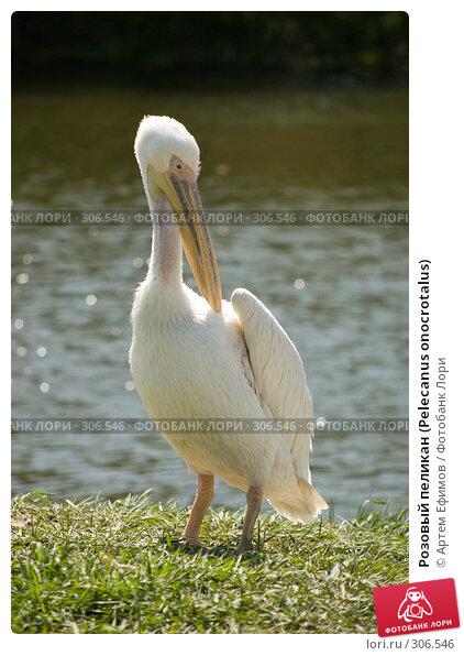 Купить «Розовый пеликан (Pelecanus onocrotalus)», фото № 306546, снято 4 мая 2008 г. (c) Артем Ефимов / Фотобанк Лори