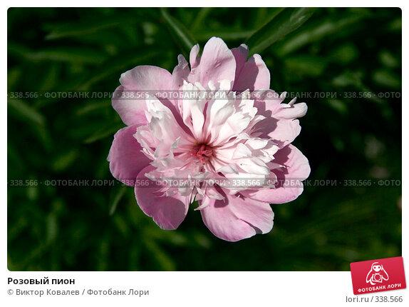 Розовый пион, фото № 338566, снято 28 июня 2008 г. (c) Виктор Ковалев / Фотобанк Лори