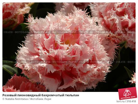 Розовый пионовидный бахромчатый тюльпан, эксклюзивное фото № 318418, снято 8 апреля 2008 г. (c) Natalia Nemtseva / Фотобанк Лори