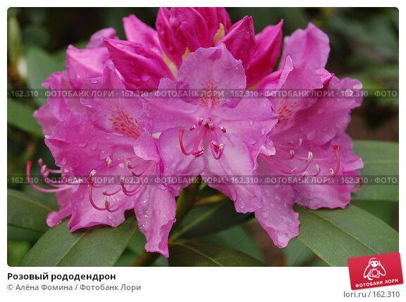 Розовый рододендрон, фото № 162310, снято 17 мая 2006 г. (c) Алёна Фомина / Фотобанк Лори