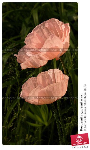Купить «Розовый садовый мак», фото № 3546, снято 5 июня 2006 г. (c) Tamara Kulikova / Фотобанк Лори