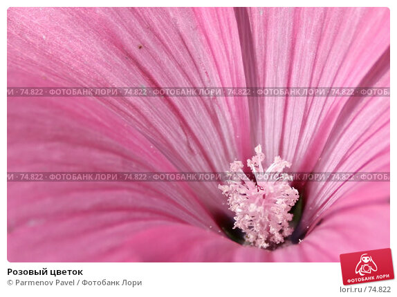 Розовый цветок, фото № 74822, снято 18 августа 2007 г. (c) Parmenov Pavel / Фотобанк Лори