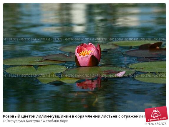 Розовый цветок лилии-кувшинки в обрамлении листьев с отражением в воде, фото № 59378, снято 7 июля 2007 г. (c) Demyanyuk Kateryna / Фотобанк Лори