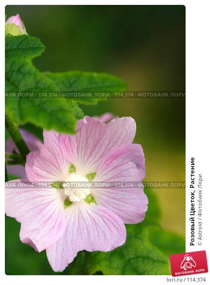 Розовый Цветок, Растение, фото № 114374, снято 12 июля 2005 г. (c) Astroid / Фотобанк Лори
