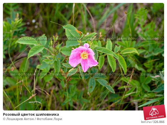Розовый цветок шиповника, фото № 326866, снято 25 января 2017 г. (c) Лошкарев Антон / Фотобанк Лори