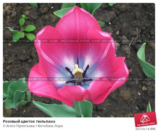 Розовый цветок тюльпана, фото № 4446, снято 21 мая 2006 г. (c) Агата Терентьева / Фотобанк Лори