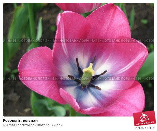 Розовый тюльпан, фото № 4414, снято 21 мая 2006 г. (c) Агата Терентьева / Фотобанк Лори