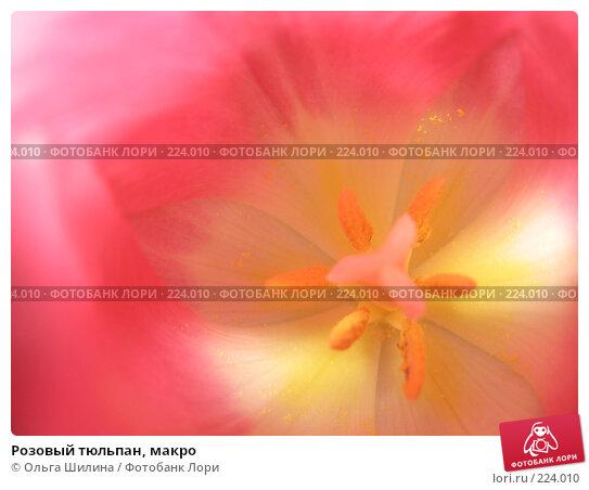 Купить «Розовый тюльпан, макро», фото № 224010, снято 16 февраля 2008 г. (c) Ольга Шилина / Фотобанк Лори