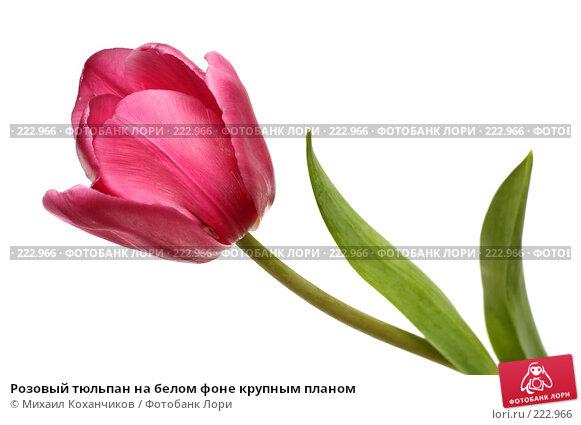 Розовый тюльпан на белом фоне крупным планом, фото № 222966, снято 8 марта 2008 г. (c) Михаил Коханчиков / Фотобанк Лори