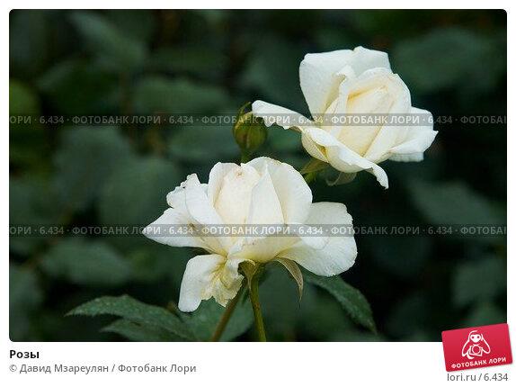 Розы, фото № 6434, снято 29 июля 2006 г. (c) Давид Мзареулян / Фотобанк Лори