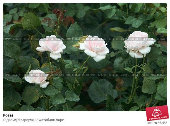 Розы, фото № 6438, снято 29 июля 2006 г. (c) Давид Мзареулян / Фотобанк Лори