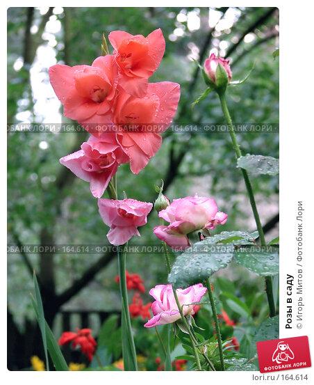 Розы в саду, фото № 164614, снято 28 апреля 2017 г. (c) Игорь Митов / Фотобанк Лори